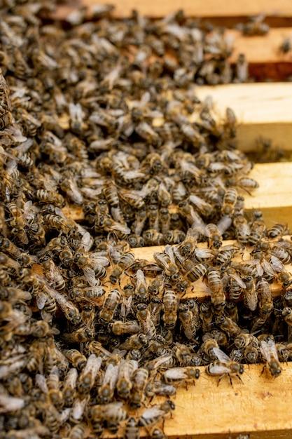 Ule Pszczół Pod Opieką Pszczół O Strukturze Plastra Miodu I Pszczół Miodnych. Pszczelarz Otworzył Ul, Aby Ustawić Pustą Ramę Z Woskiem Do Zbioru Miodu Premium Zdjęcia