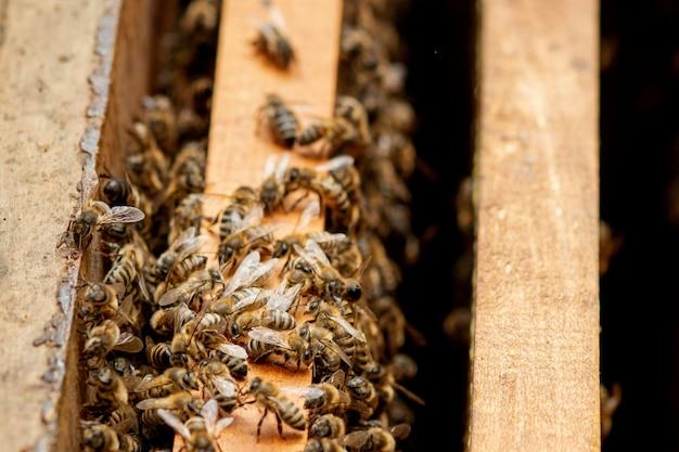 Ule Pszczół Pod Opieką Pszczół O Strukturze Plastra Miodu I Pszczół Miodnych. Pszczelarz Otworzył Ul, Aby Ustawić Pustą Ramę Z Woskiem Do Zbioru Miodu. Premium Zdjęcia