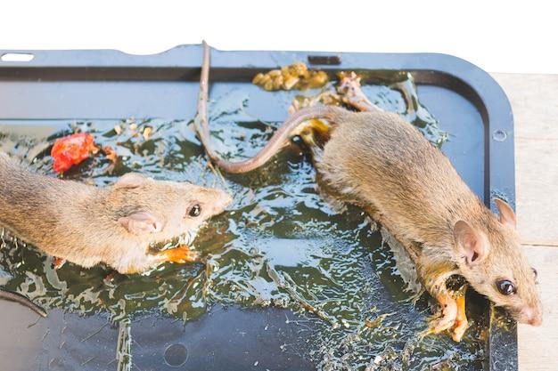 Umierające Szczury Przylepiają Się Do Pułapki Na Klej Premium Zdjęcia
