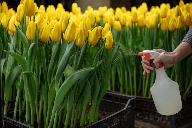 Uprawa Tulipanów W Szklarni Darmowe Zdjęcia