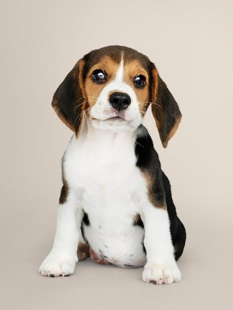 Urocza szczeniak beagle portret solo Darmowe Zdjęcia