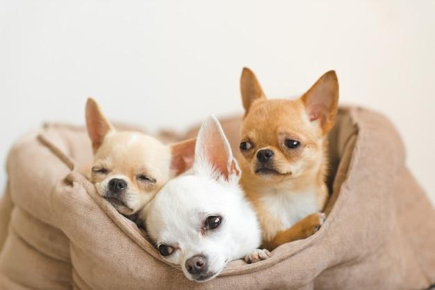 Urocze, Słodkie I Piękne Domowe Szczeniaki Chihuahua Leżące, Relaksujące Się W łóżku Psa Premium Zdjęcia