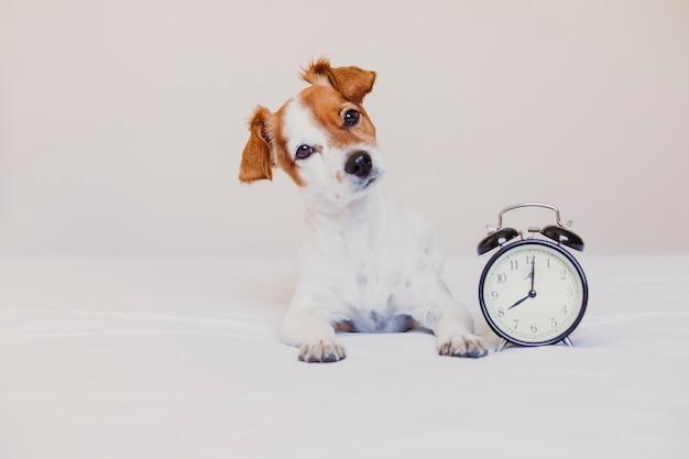 Uroczy pies leżący na łóżku z budzikiem ustawionym na 8 rano. rano i obudź się koncepcja w domu. Premium Zdjęcia