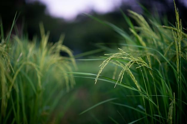 Uszy Jaśminowego Ryżu Stają Się Zielone I Piękne. Zdjęcia Dla Twojej Firmy Premium Zdjęcia
