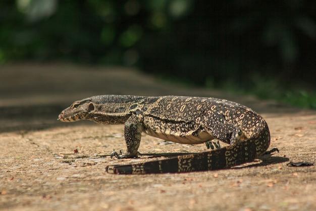 Varanus Salvator Chodzący Po Podłodze. Premium Zdjęcia