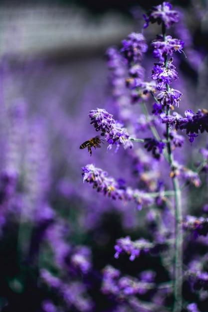 Vertical Strzał Pszczoły Tyczenie Na Lawendowym Kwiacie Darmowe Zdjęcia
