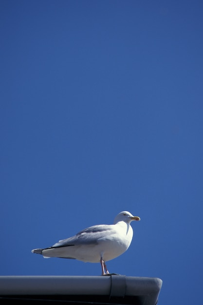 Vertical Strzał Roześmiany Frajer Na Dachu Z Jasnym Niebieskim Niebem W Devon, Uk Darmowe Zdjęcia