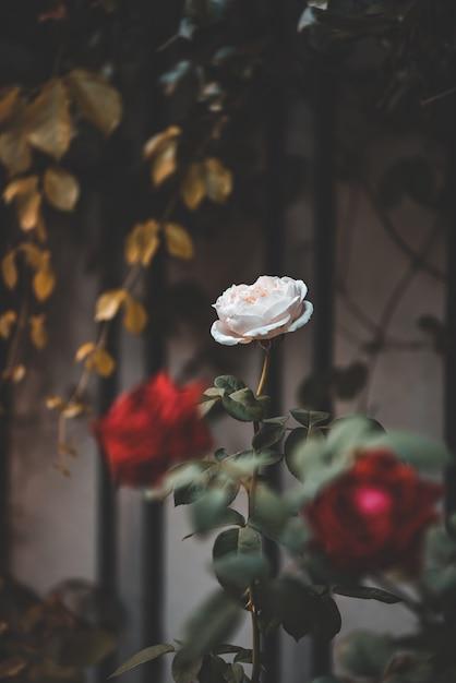 Vintage Piękne Różowe I Czerwone Róże Ogrodowe Premium Zdjęcia