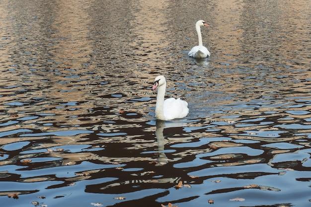 W Jeziorze W Jesiennym Parku Pływają Białe łabędzie Premium Zdjęcia