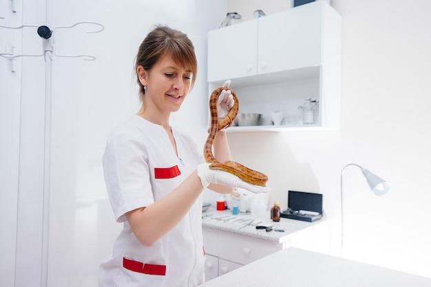 W Nowoczesnej Klinice Weterynaryjnej Bada Się żółtego Węża. Klinika Weterynaryjna. Premium Zdjęcia