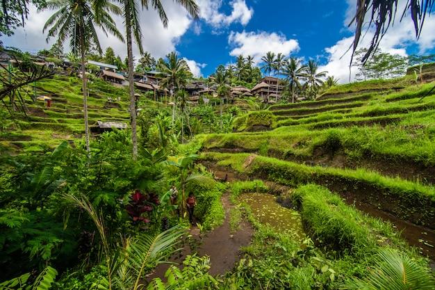W Pobliżu Kulturalnej Wioski Ubud Znajduje Się Obszar Znany Jako Tegallalang, Który Szczyci Się Najbardziej Dramatycznymi Tarasowymi Polami Ryżowymi Na Całym Bali. Darmowe Zdjęcia
