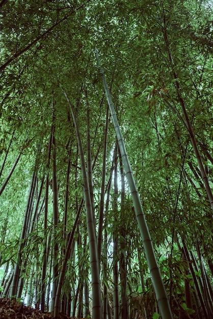 W środku Bambusowego Gaju Spogląda W Górę. Wysokiej Jakości Zdjęcie Premium Zdjęcia