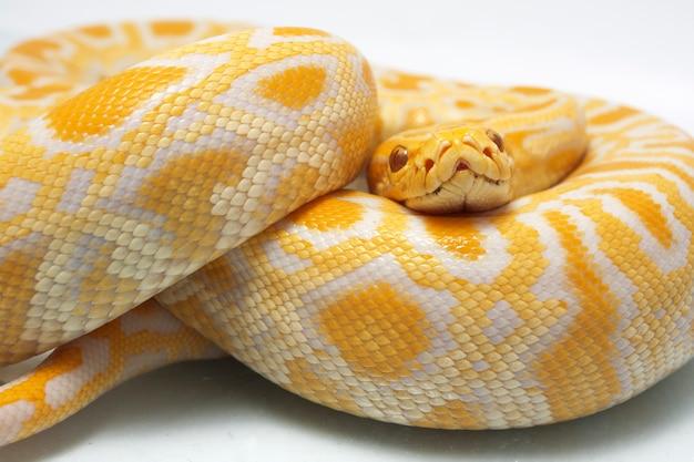 Wąż Albino Birmański Python Na Białym Tle Premium Zdjęcia