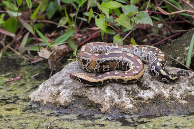 Wąż Pytona Czerwonokrwisty Sumatrzański Premium Zdjęcia
