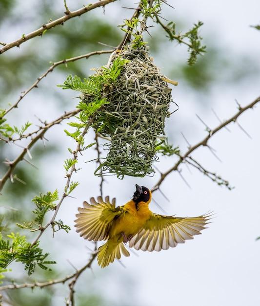 Weaver Buduje Gniazdo Na Drzewie Premium Zdjęcia