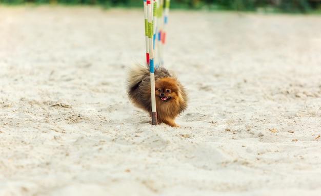 Welsh Corgi Dog Występujący Podczas Pokazu W Konkurencji Darmowe Zdjęcia
