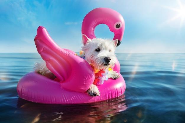 West Highland Terrier Ma Odpoczynek Na Gumowym łabędź Przy Nadmorskim Kurortem Premium Zdjęcia