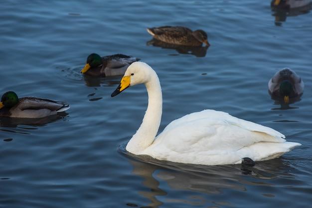 Whooper łabędzie pływające w jeziorze Premium Zdjęcia