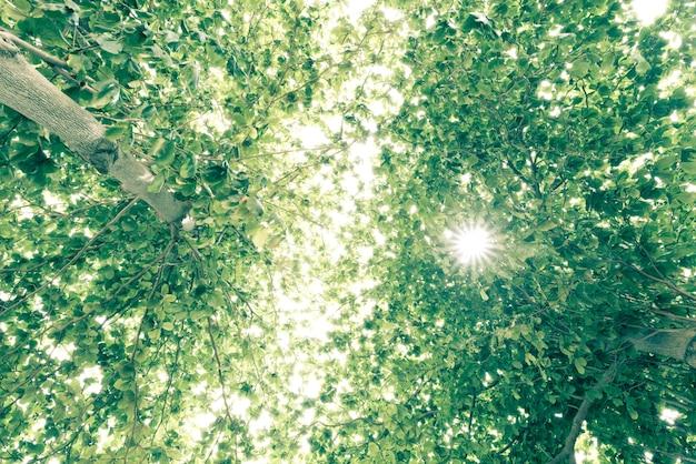 Widok Starego I Dużego Drzewa, Od Dołu Do Wierzchołka Drzewa Z Zielonymi Liśćmi. Premium Zdjęcia