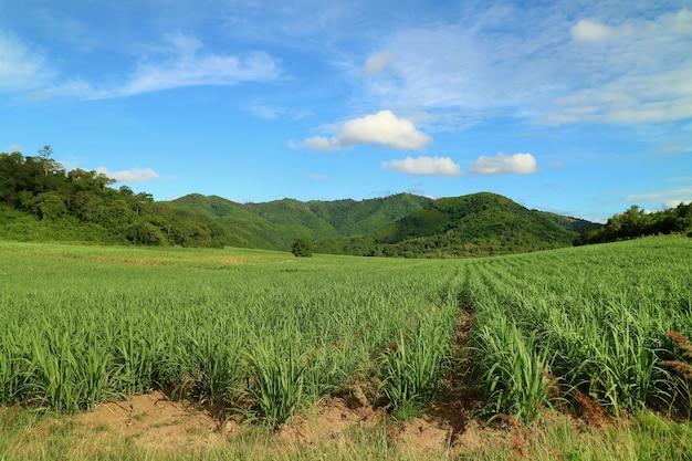 Widok Z Boku Kraju Z Trzciny Cukrowej Na Polach Trzciny Cukrowej W Tle Góry. Przyroda I Rolnictwo. Premium Zdjęcia