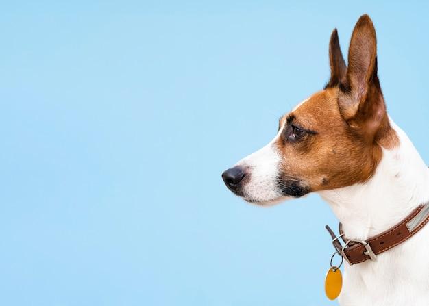 Widok Z Boku Pies Z Posiekanymi Uszami, Odwracając Wzrok Premium Zdjęcia