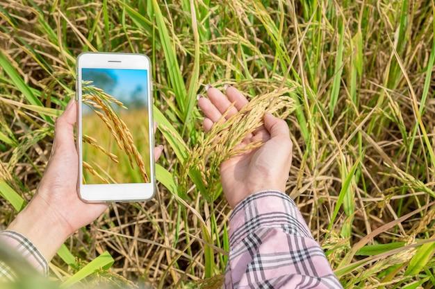 Widok z góry inteligentny telefon w ręku z ryżem pola irlandzkiego w rękach rolnika Premium Zdjęcia