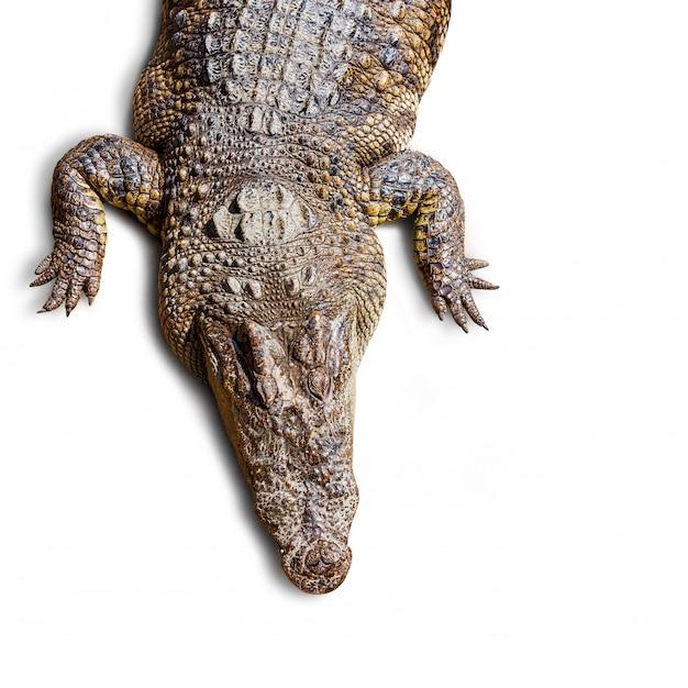 Widok Z Góry Krokodyla Premium Zdjęcia