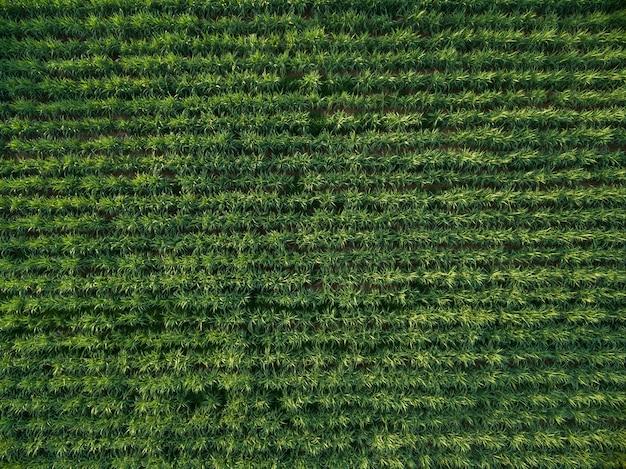 Widok z lotu ptaka plantacji trzciny cukrowej widok z góry tle przyrody. Premium Zdjęcia