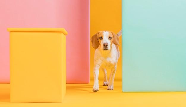 Widok Z Przodu ładny Beagle Darmowe Zdjęcia