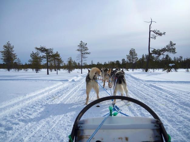 Widok Z Tyłu Psich Zaprzęgów Na śniegu Pokryte Drogą W Zaśnieżonym Lesie Premium Zdjęcia
