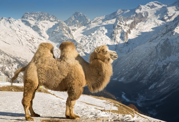 Wielbłąd W Górach Premium Zdjęcia