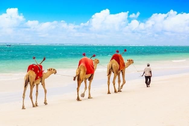 Wielbłądy Przy Afrykańską Piaskowatą Diani Plażą, Ocean Indyjski W Kenja Premium Zdjęcia