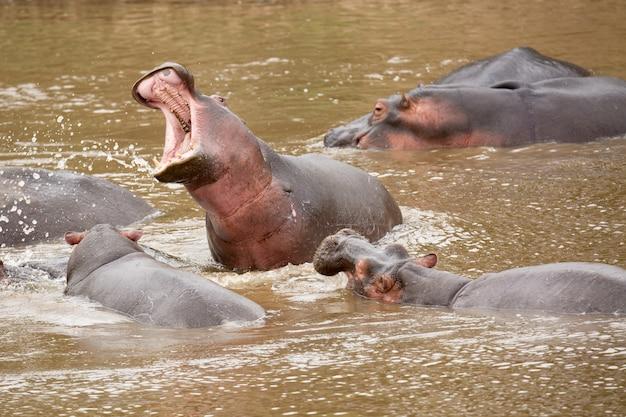 Wiele Hipopotam W Masai Rzece Przy Masai Mara Parkiem Narodowym W Kenja, Afryka. Premium Zdjęcia