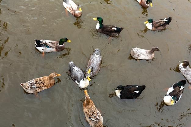 Wiele kaczek pływa w wodzie. zwierzęta w parku miejskim Premium Zdjęcia