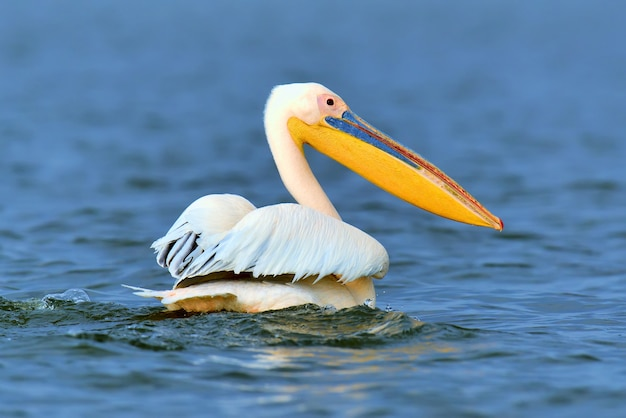 Wielki Biały Pelikan Lecący Nad Jeziorem Na Sawannie Darmowe Zdjęcia