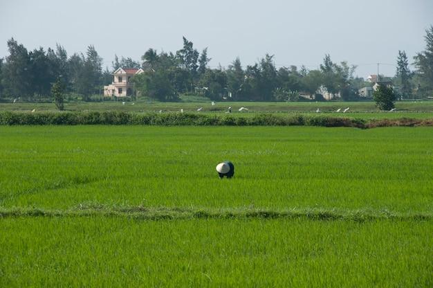 Wietnamski Rolnik Na Polu Ryżu W Tradycyjnym Stożkowym Kapeluszu I Na Obrzeżach Hoi Premium Zdjęcia