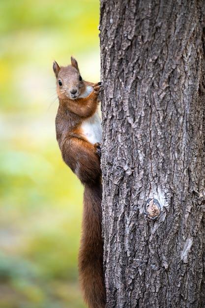Wiewiórka Na Drzewie Z Pomarańczowym Futrem Premium Zdjęcia