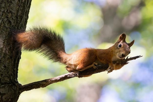 Wiewiórka na gałęzi drzewa Premium Zdjęcia