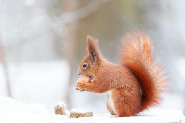 Wiewiórka Zwyczajna Zwyczajna (sciurus Vulgaris) W śniegu. ładny Wiewiórka Ruda Patrząc W Zimowej Scenie Premium Zdjęcia