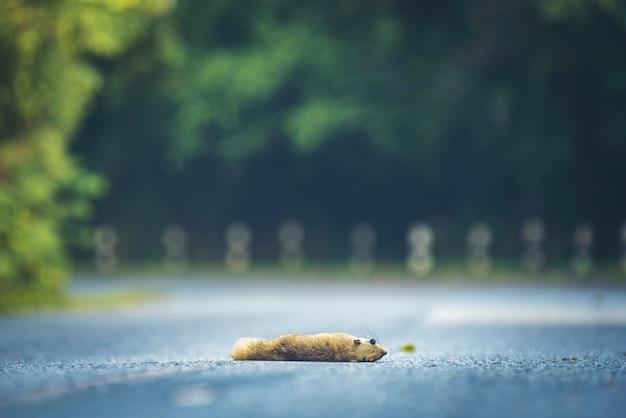 Wiewiórki Giną Na Drodze W Khao Yai Parku Narodowym, Tajlandia Premium Zdjęcia