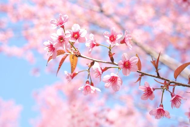 Wild Himalayan Cherry Blossoms W Sezonie Wiosennym, Prunus Cerasoides, Pink Sakura Flower Background Premium Zdjęcia