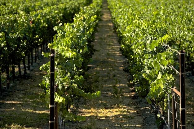 Winnice Kalifornii Darmowe Zdjęcia