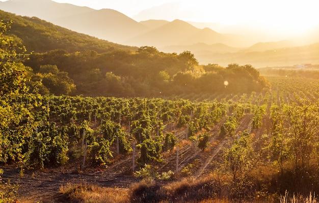 Winnice O Zachodzie Słońca, Krym Premium Zdjęcia