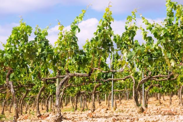 Winnice W Pobliżu Haro Darmowe Zdjęcia
