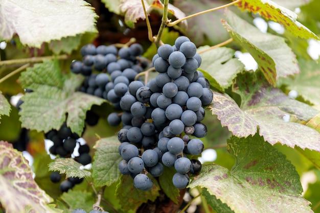 Winnicy Przy Zmierzchem W Jesieni żniwie. Dojrzałe Winogrona Jesienią. Premium Zdjęcia