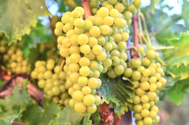 Winogrona Rosnące W Winnicy Darmowe Zdjęcia