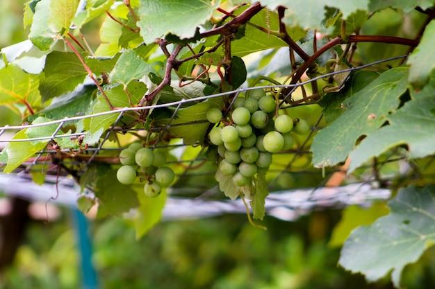 Winorośl Winogron Wspinaczka Na Kratę Z Winogron Wiszących Darmowe Zdjęcia