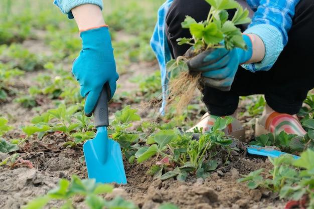 Wiosenny ogród, ręce kobiety w rękawiczkach z narzędziami ogrodowymi sadzą krzewy truskawek Premium Zdjęcia