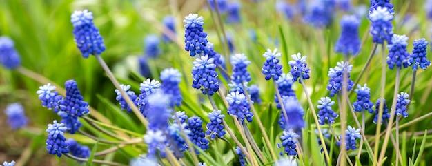 Wiosenny Sztandar Pięknych Hiacyntów Winogronowych. Muscari Kwitnie W Wiosna Ogródzie. Panorama Krajobrazowa, Miejsce Premium Zdjęcia