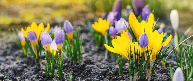 Wiosną Jasne Tło Z Kwitnących Fioletowych, Liliowych, żółtych Krokusów Wczesną Wiosną. Krokus Iridaceae (rodzina Tęczówki), Obraz Transparentu Z Blaskiem Słońca Premium Zdjęcia